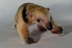 Baby Tamandua -Tamandua are a kind of anteater found in Central and South America west of the Andes. They have partially prehensile tails and spend much of their time in trees. Solitary animals, they are generally active at night, foraging in trees for food, mainly ants and termites. They have long tongues that can extend up to 16 inches (40 cm), but have no teeth to chew; instead, they have a gizzards that grind up food.