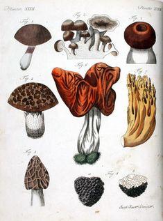 Botanical - Fungi - Educational plate
