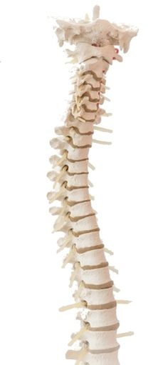 New study offers hope of recovery from spinal cord injury, novel enzyme treatment may reduce inflammation and scarring that prevent neuronal regeneration Spinal Cord Anatomy, Spinal Cord Injury, Skin And Bones, Reduce Inflammation, Disability, Recovery, Blood, Charlotte, Strength