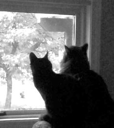 Watching the crows. Crows, Cat, Animals, Animales, Ravens, Raven, Animaux, Cat Breeds, Cats