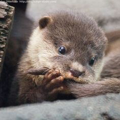 Baby otter, tasting his own tail