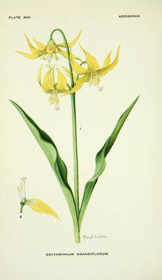 Erythronium grandiflorum - circa 1924