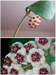 Hoya kerri flower from Cambodia ...