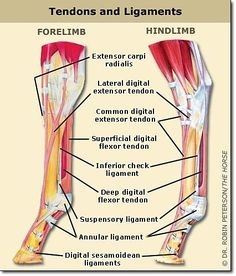 Tendons & Ligaments In The Fore & Hind Limbs