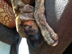 Cutest puppy ever. Boxer Great Dane mix! If he was a little darker in the face he would look just like my Ben!