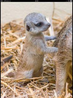 Adorable baby meerkat.