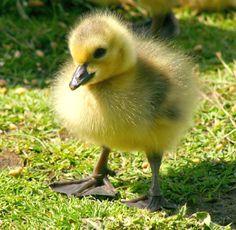 Baby goose!