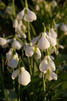 Galanthus plicatus 'Diggory'