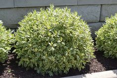 Cornus alba 'Ivory Halo' Dogwood A compact and very hardy shrub, well suited for color contrast in many garden applications; features very showy white-variegated foliage and brilliant red stems which show up well against the winter snow Ivory Halo Dogwood Shrubs For Landscaping, Garden Shrubs, Landscaping With Rocks, Lawn And Garden, Landscaping Ideas, Bushes And Shrubs, Inexpensive Landscaping, Landscaping Software, Landscaping Contractors