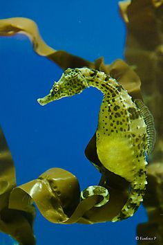 Seahorse in his underwater home...