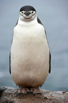 smiling penguin