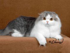 Scottish Fold Cat Breeders: Fanciers Breeder Referral List