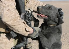 military working dog images | Military Dog Photo of the Week: Marines and Their Black Labs