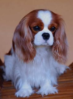 Cavalier King Charles Spaniel....I predict that we'll have Jason talked into getting one of these by the end of 2013...! :) #CavalierKingCharlesSpaniel