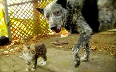 Ralphee the kitten and Max the cattle dog are an odd couple who seem besotted with each other's company after they were introduced following Ralphee's rescue from a barn at a horse stable.