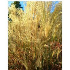 """village. #field #grass #wild #nature #memories #garden #fall #poacea #earth #mothernature #prairie #wildflowers #seedheads #ecosystem"" Photo taken by @akaaki157 on Instagram, pinned via the InstaPin iOS App! http://www.instapinapp.com (11/04/2015)"