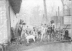 ORIGINAL PINNER SAYS: Image of a group of dogs standing behind a chain-link fence in a small yard at the dog farm of Mrs. Irene Castle McLaughlin, noted dog lover and Chicago socialite, Illinois, c.1928.