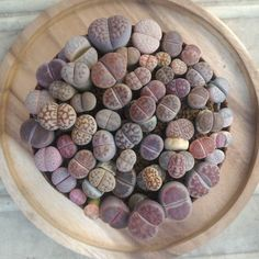 Lithops for sale Line ev3ziilmz  #pots #cactusthailand  #cactus #cactuslover  #lithops  #livingstone  #lithopsthailand  #succulent  #succulove  #ev3ziilmzcactus #lapidariamargaretae #หนจะเปนแคคตสผยงใหญ by ev3ziilmz_lithops