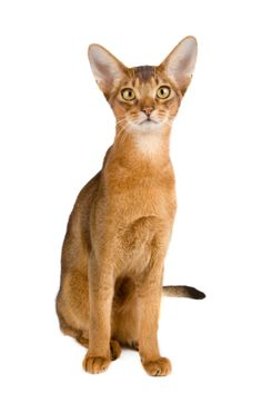 Abyssinian Cats: these elegant and regal-looking cats are easy to care for and make ideal pets for cat lovers.