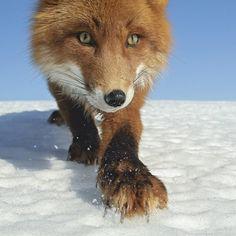 Fox on the Hunt by Sergey Gorshlov
