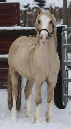 Welsh Cob Hengst: Arvalon Assassin....beautiful color! SWEET face.