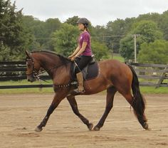 Friesian x Saddlebred/Clydesdae-Bayberry Rose