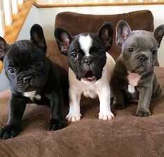 French Bulldog Puppies! My next dog may have to be a Frenchie! They are too cute and so spunky!