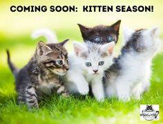 Kitten Season: Coming to a neighborhood near you! #mewow #catcafe #kittenseason #kittenseason2021 #catadoption #adoptdontshop #adoptacat #kitten #kittens #cutecat #lovecats Unique Cats, Unique Animals, Laperm, Selkirk Rex, Cat Cafe, Scottish Fold, New Instagram, Cat Breeds, Dachshund