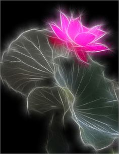 Stunning image by Bahman Farzad, #Nature - Lotus Flower / Fractalius: including interesting #facts about the #Lotus
