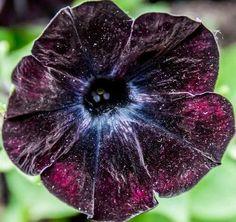 【神秘的】「宇宙の色彩」を持つ花びらがきれい http://news.livedoor.com/article/detail/10238600/…  花びらの中に広がる星の海。ペチュニアのブラック・ベルベットという品種で、通常の花びらは漆黒だそうです