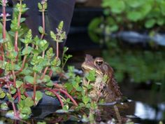 Garden pond plants with a visiting frog