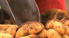 Epicerie fine - La ratte du Touquet.    Au nord de la Picardie, le long de la cote d'Opale, une variété de pomme de terre à la peau très fine est cultivée depuis les années 60 : La ratte du Touquet. Elle doit son nom à sa forme oblongue et noueuse qui rappelle la souris. Originaire du Lyonnais, de l'Ardeche et de la Haute Loire, cette pomme de terre si fragile a bien failli disparaître. Grace aux efforts d'un petit noyau d'agriculteurs picards, elle est aujourd'hui sauvée.