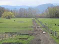Horses, sheep and the big willow tree at McMillan Farms Willow Tree, Farms, Sheep, Horses, Big, Homesteads, Horse