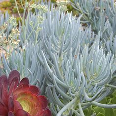Senecio - Top Types of Succulents for Home Gardens - Sunset