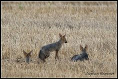 cape-foxes on farm land on the Durbanville back roads Back Road, African Animals, Foxes, Crane, Kangaroo, South Africa, Blue, Baby Bjorn, Fox