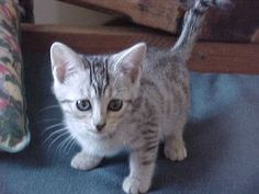 My favorite type of cat - silver snow bengal. <3