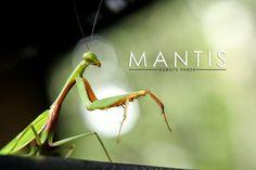 Mantis Kungfu Panda