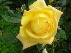 Perfect yellow rose, taken in gardens in Adelaide, Australia, December 2008.