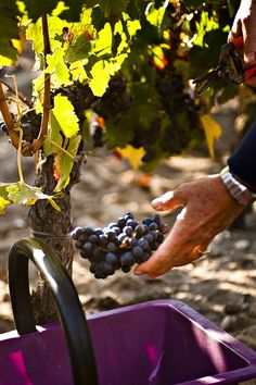 Harvesting in Bordeaux-one of my favorite experiences while wine touring in France!