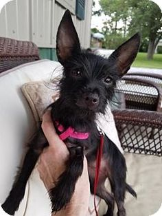 Pictures of Peanut a Yorkie, Yorkshire Terrier/Chihuahua Mix for adoption in Louisville, IL who needs a loving home.