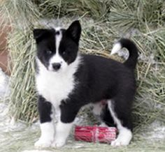 Karelian Bear Dog Rescue Washington