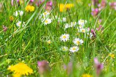 Bunte Frühlingswiese, Wiesenblumen