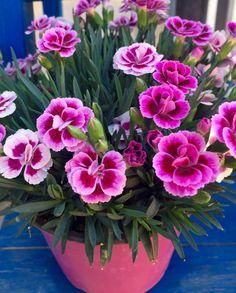 Garofano  #fiori #primavera #colori #rosa