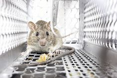 Want to know how to get rid of mice in your house humanely? Here's 6 ways to do it without harming them! Trust me, I've used them all. Types Of Bugs, Types Of Insects, Getting Rid Of Rats, Pest Solutions, Pet Mice, Of Mice And Men, Garden Guide, How To Get Rid, Pest Control