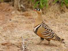 Pterocles indicus/ Painted Sandgrouse/ サザナミサケイ