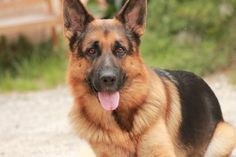German Shepherd named Bear.  Died when I was young.  He was HUGE to me...lol...RIP.