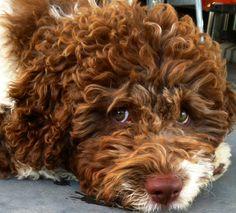 Lagotto Romagnolo Puppy