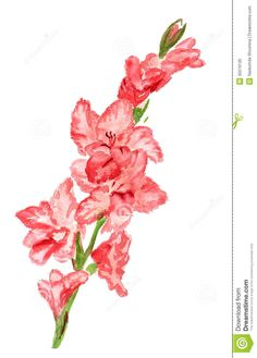 Watercolor Painting of Gladiola | Watercolor image of pink gladiolus on white background.