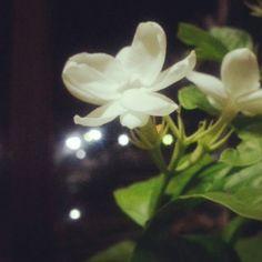 ♡♡ดอกมะลิ