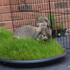 Tray of Grass for bunnies!: Rabbit Toys, Rabbit Treats, Bunny Toys, Rabbit Cages, Baby Bunnies, Funny Bunnies, Bunny Rabbit, Indoor Rabbit, Dwarf Bunnies